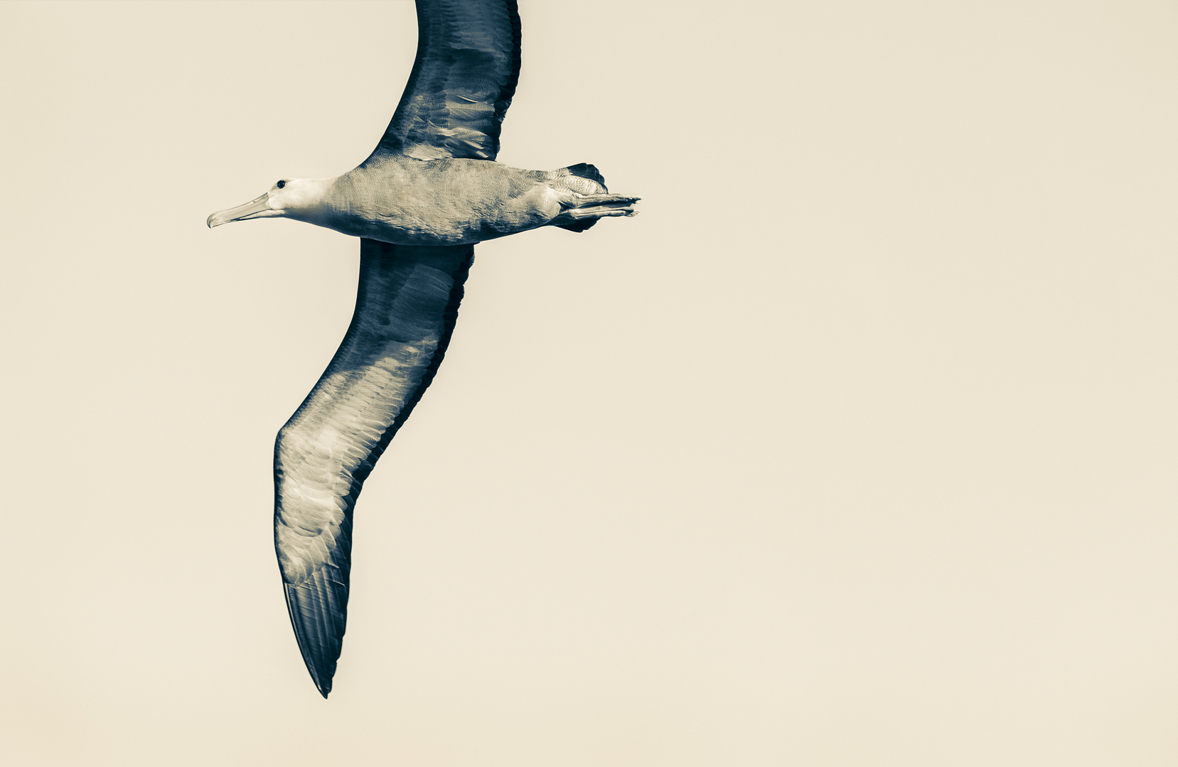 A black-and-white picture of a flying seagull